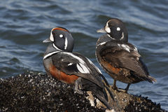 Harlequin duck, Histrionicus histrionicus, Stock Images