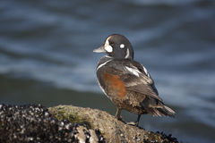 Harlequin duck, Histrionicus histrionicus, Stock Photo
