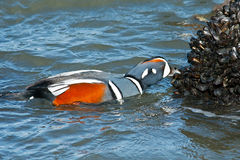 Harlequin Duck Stock Images
