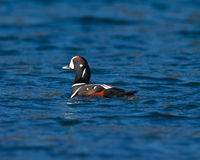 Harlequin Duck Royalty Free Stock Photos