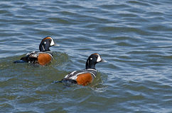 Harlequin Duck Royalty Free Stock Photo