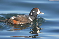 Harlequin Duck Swimming Stock Images