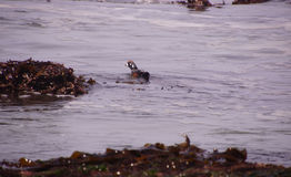 Harlequin Duck swimming in surf Stock Images