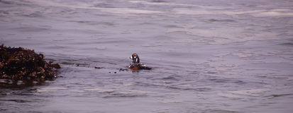 Harlequin Duck swimming in surf Royalty Free Stock Photo