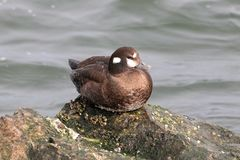Harlequin Duck on top of the world stock photo