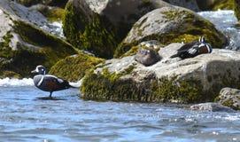 Harlequin ducks royalty free stock image