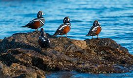 Harlequin ducks. Colorful male Harlequin ducks ,Histrionicus histrionicus, stand on coastal rocks Stock Images