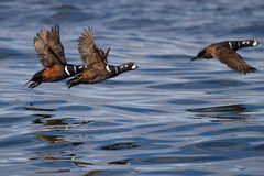 Harlequin Ducks in Flight Stock Photo