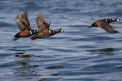 Harlequin Ducks in Flight. Three Harlequin Ducks flying over the water Stock Photo