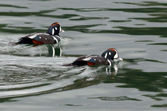 Harlequin Ducks on Green Water Royalty Free Stock Photo