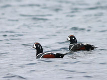 Harlequin Ducks on the Water. On the Washington coast Royalty Free Stock Photography