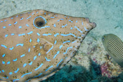 Harlequin filefish Stock Photography