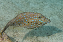 Harlequin filefish Stock Photos