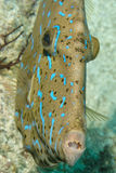 Harlequin filefish Royalty Free Stock Photo