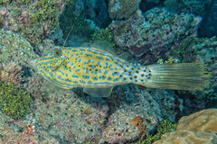 Harlequin filefish Royalty Free Stock Images