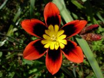 Harlequin Flower. Her latin name is Sparaxis tricolor also known by the commun names : wandflower, harlequin flower and sparaxis Royalty Free Stock Image