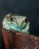 Harlequin frog Royalty Free Stock Photography
