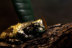 Harlequin frog Stock Images
