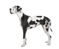 Harlequin Great Dane (4 years) Royalty Free Stock Photography