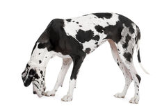 Harlequin Great Dane (4 years) Stock Images