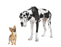 Harlequin Great Dane (4 years) looking down at a. Small chihuahua (18 months) in front of a white background stock images