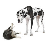 Harlequin Great Dane (4 years)  looking down at a Stock Photography