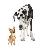 Harlequin Great Dane (4 years) looking down at a. Small chihuahua (18 months) in front of a white background royalty free stock images
