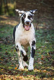 Harlequin great dane Photo libre de droits