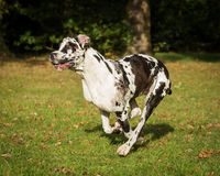 Harlequin great dane Image libre de droits