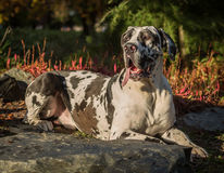 Harlequin great dane Photographie stock libre de droits