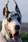 Harlequin great dane. On a leash royalty free stock photos