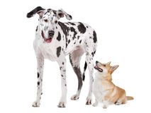 Harlequin Great Dane and aPembroke Welsh Corgi dog. Harlequin Great Dane and a Pembroke Welsh Corgi dog in front of a white background Royalty Free Stock Images