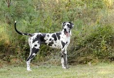 Harlequin Great Dane dog. Female harlequin Great Dane dog. Deutsche Dogge,  German Mastiff. Outdoor adoption photograph for Walton County Animal Control shelter Royalty Free Stock Photos