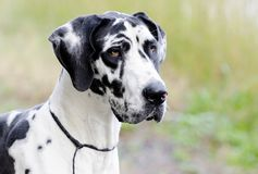 Harlequin Great Dane dog. Female harlequin Great Dane dog. Deutsche Dogge,  German Mastiff. Outdoor adoption photograph for Walton County Animal Control shelter Royalty Free Stock Images