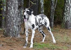 Harlequin Great Dane dog. Female harlequin Great Dane dog. Deutsche Dogge,  German Mastiff. Outdoor adoption photograph for Walton County Animal Control shelter Royalty Free Stock Photo