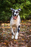 Harlequin Great Dane Stock Images