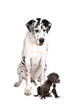 Harlequin Great Dane and pup. Harlequin Great Dane dog and puppy isolated on white background Royalty Free Stock Photos