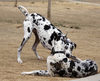Harlequin Great Danes playing. Two Harlequin Great Danes playing at the park royalty free stock images