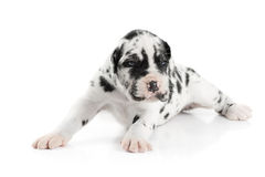 Harlequin greatdane puppy Royalty Free Stock Image