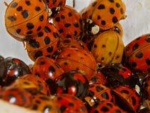 Harlequin ladybeetles Stock Photos