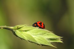 Harlequin ladybird stock photography