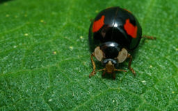 Black Harlequin ladybird with red spots Royalty Free Stock Image