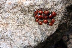 Harlequin ladybird royalty free stock photos