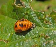 Harlequin Ladybird Pupa. Invasive species Harlequin Ladybird Pupa Stock Photo