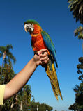 Harlequin Macaw. Is displayed by a keeper Stock Photo