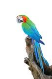 Harlequin Macaw Στοκ φωτογραφία με δικαίωμα ελεύθερης χρήσης