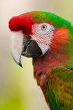 Harlequin Macaw. The Harlequin Macaw is a cross between a Blue and Gold Macaw and a Greenwing Macaw Stock Images