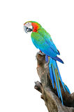 Harlequin Macaw Royalty Free Stock Photo