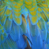 Harlequin Macaw feathers. Colorful feathers, Harlequin Macaw feathers background texture Royalty Free Stock Images