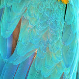 Harlequin Macaw feathers Royalty Free Stock Photography